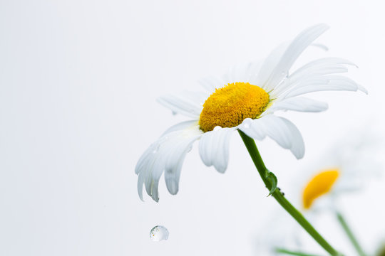 Petals of a camomile with drops of water