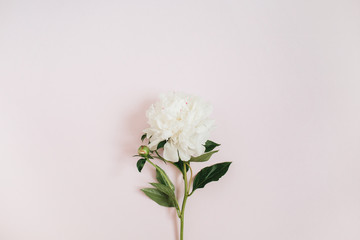 Beautiful white peony flower on pink background. Flat lay, top view.