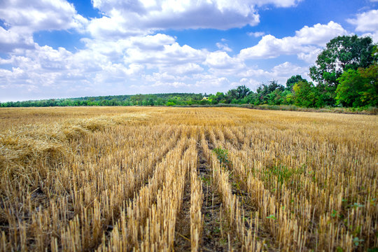 Big yellow field after harvesting. Mowed wheat fields under beautiful blue sky and clouds at summer sunny day. Converging lines on a stubble wheat field