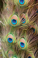 Peacock colorful feather