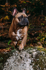 A majestic and regal brown french bulldog posing on a mossy rock.
