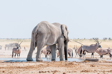 African elephant drinking water at a waterhole