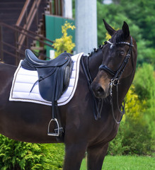 Portrait of a thoroughbred horse on  background. Dressage with beautiful horse closeup, equestrian sport. Front view head shot of a beautiful black stallion.