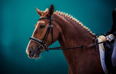 Cream akhal-teke horse with blue eyes portrait during dressage competition.