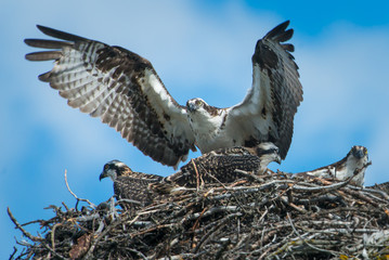 Osprey delivering food