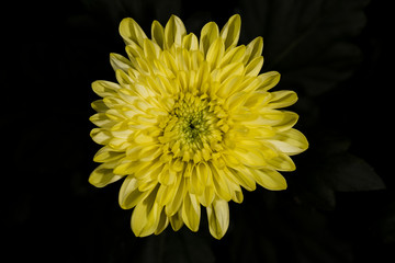 Yellow flower, flower chrysanthemum in autumn