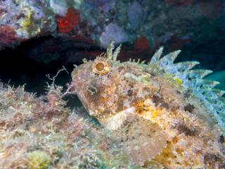 Underwater life, Scorpaena scrofa