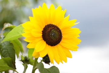 Yellow flower for color background.