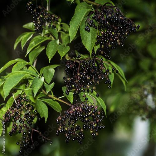 Wall mural owoce czarnego bzu