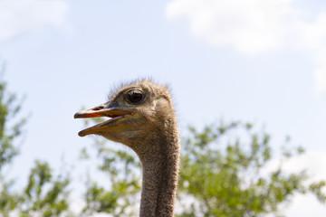 Profile, closeup, of ostrich head.