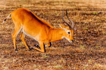 African antelope in Uganda