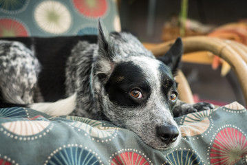 Cattle dog sits outside on rattan furniture.