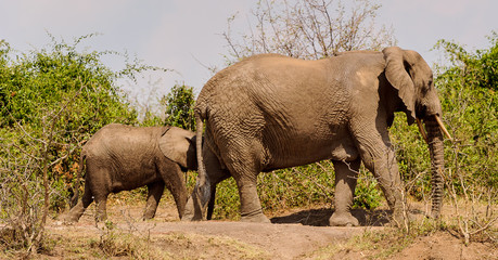 Elephants, father and son, walk together