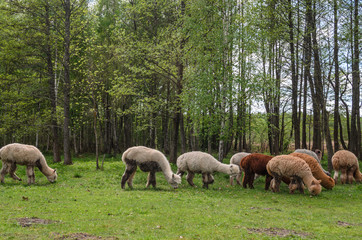Alpacas family with small baby pastures on green grass by the lake near forest at summertime