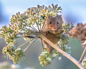 Eurasian Harvest mouse foraging on seeds