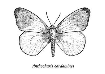 Orange tip butterfly illustration, drawing, engraving, ink, line art, vector
