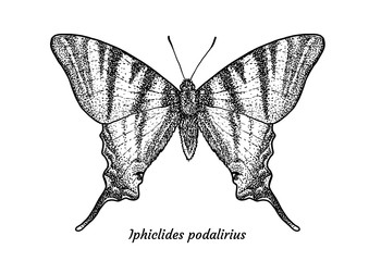 Scarce swallowtail butterfly illustration, drawing, engraving, ink, line art, vector