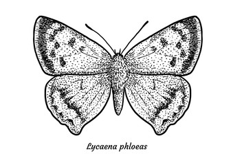 Small copper butterfly illustration, drawing, engraving, ink, line art, vector
