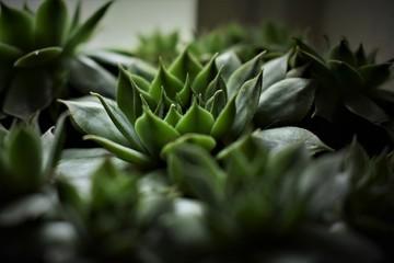 Close up succulent