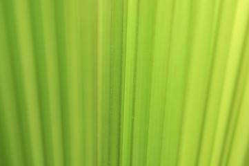 Lines and textures of Green Palm leaves with light of sunshine in tropical forest