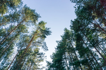 Vertical perspective within a forest of pine trees