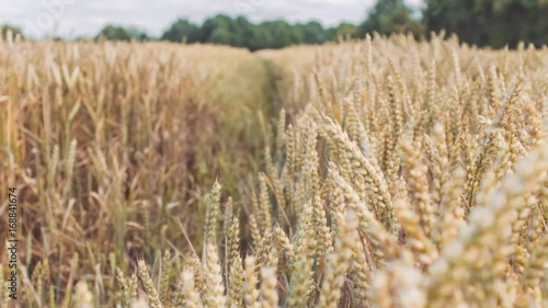 """""""Dry golden wheat spikes in a filed. Slow motion dolly ..."""