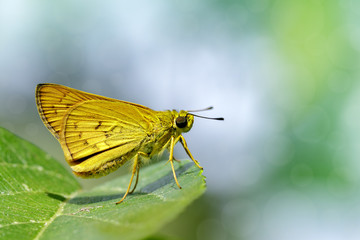 Image of common dartlet butterfly (Oriens gola Moore,1877)on a green leaf on nature background. Insect Animal