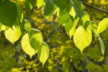 fresh hazel tree leaves in garden