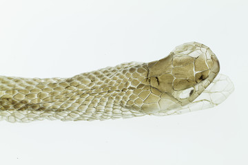 Head shot of shedding snake skin,boa, on white background