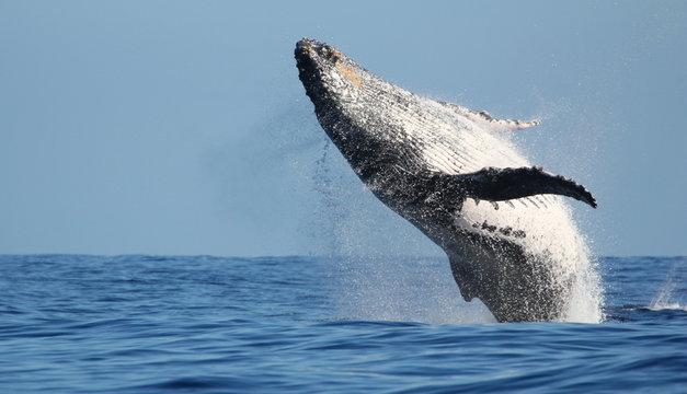 Impressionnant saut de baleine à l'île de la Réunion
