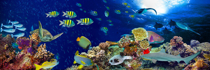 Foto auf AluDibond Unterwasser colorful wide underwater coral reef panorama banner background with many fishes turtle and marine life / Unterwasser Korallenriff Hintergrund