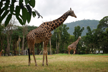 giraffe, animal, zoo, wildlife, spots, park