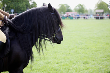 Head of a black horse in dressage competitions