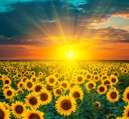Pola słoneczników podczas zachodu słońca. Piękny złożony wschód słońca nad polem złoci żółci słoneczniki.