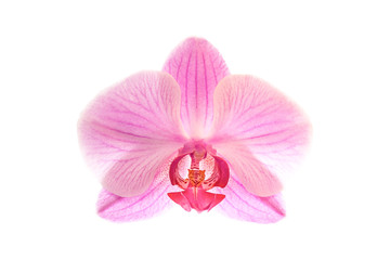 Single pink orchid blossom isolated on white