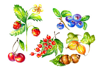 Watercolor Botanical illustration of fruits and berries. Watercolor illustration of strawberries, cherries, currants, gooseberries, blueberries and hazelnuts.