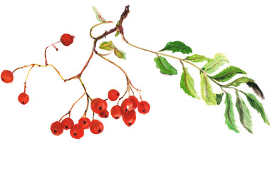 Botanical illustration of rowan berries. Watercolor hand painting on white background.