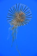 Japanese Sea Nettle Jellyfish