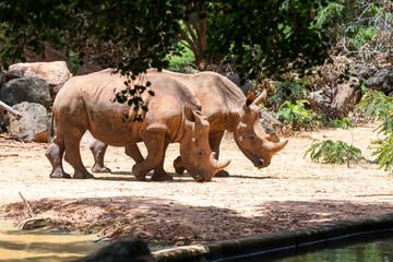 portrait image white rhinoceros in Nakhon Ratchasima Zoo