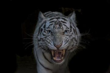 Tigre Blanc montrant les crocs
