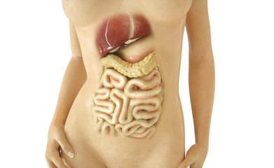 Digestive tract part 03 of 03 - 3D Rendering