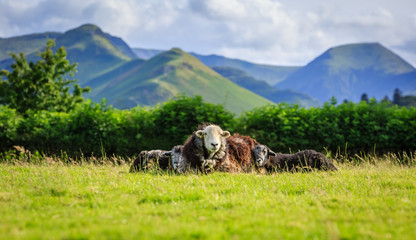 Mother with lambs resting in field, The Lake District, Cumbria, England