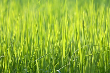 Rice grass blades