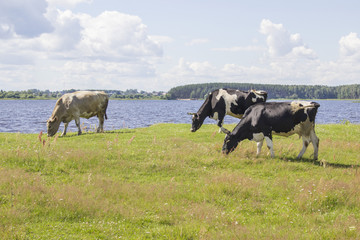 Black and white and ginger cows on a grass field near the river bank in sunny day in Russia