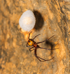 Araña cavernícola grande. Meta menardi. Hembra custodiando su nido.
