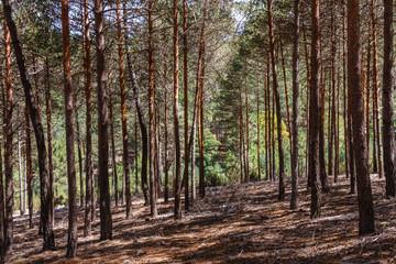 Pinus sylvestris. Bosque de Pino silvestre, albar. Sierra de la Culebra, Zamora, España.