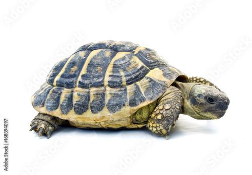 Tartaruga su sfondo bianco immagini e fotografie royalty for Tartaruga prezzo