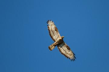 Halcón abejero, europeo, en vuelo. Pernis apivorus.