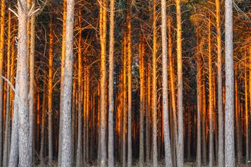 Pinus sylvestris. Pinar con luz del atardecer. Pino silvestre, albar.