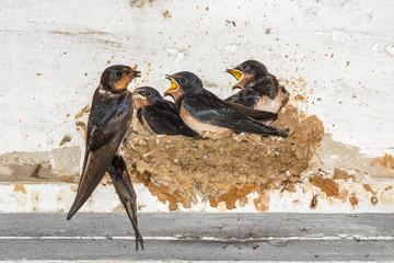 Golondrina Común alimentando a sus crías en el nido. Hirundo rustica.